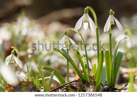 Snowdrop or common snowdrop (Galanthus nivalis) flowers #1257386548
