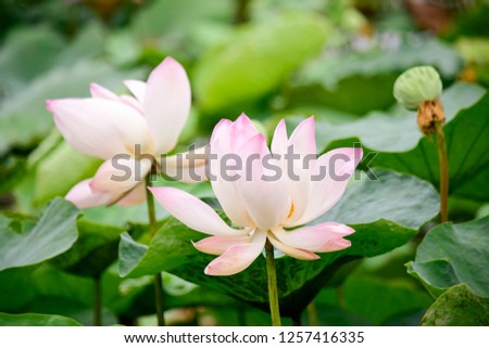 Pink lotus ponds in peaceful and quiet countryside. This is the flower of the Buddha and is useful for human food #1257416335