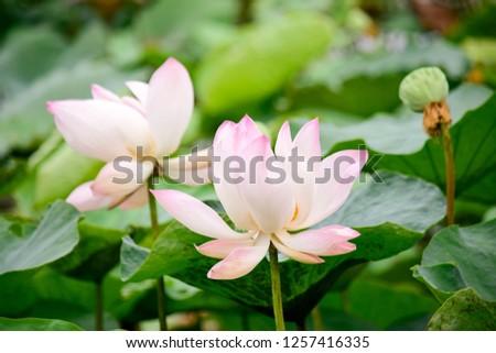 Pink lotus flowers in pond. #1257416335