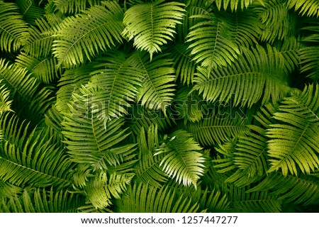 Green leafs of fern with raindrops in tropical. Top view. Flat lay. Nature background, close-up of leaves of lily of the valley and fern. #1257447277