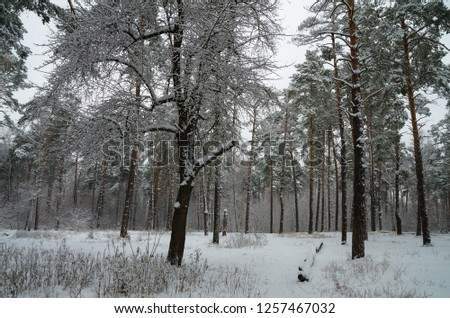 Winter snow forest. Snow lies on the branches of trees. Frosty snowy weather. Beautiful winter forest landscape. #1257467032
