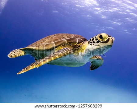 Young Hawksbill Turtle swimming along in Nassau, Bahamas. #1257608299