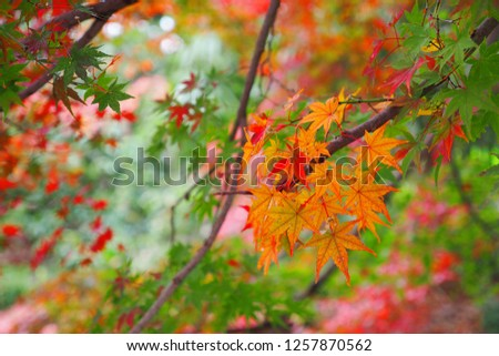 A beautiful Autumn leaves in garden in Kyoto #1257870562