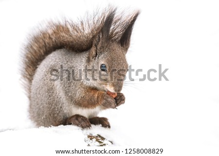 hungry red squirrel sitting in snow in winter park and eating nut  #1258008829