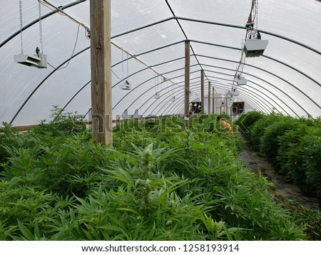 Commercial hemp farming in a greenhouse. Industrial hemp grown to produce CBD oil and other hemp derived products. 2018 Farm Bill legalizes hemp farming. Farmers in hoop house maintaining plants. #1258193914