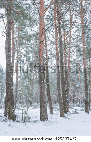 Winter in the Pine Forest. Nature in the vicinity of Pruzhany, Brest region,Belarus. #1258374271