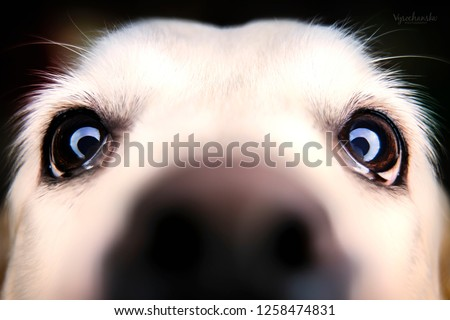 dog in studio, black labrador, black dog on black background, dog labrador sitting on black and white backgrounds,  #1258474831