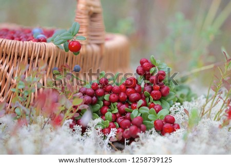 A close-up of fresh cowberry (vaccinium vitis-idaea) also known as lingonberry. Season: Summer 2016. Location: Western Siberian taiga. #1258739125