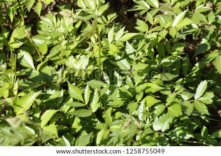 Foliage of Astilbe chinensis (Maxim.) Franch. variety 'Spatsommer' (commonly known as tall false-buck's-beard, false goat's beard or Chinese astilbe) #1258755049