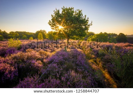 Colourful horizontal sunrise heather landscape with sun rays shining through a tree located in the middle of purple heather field at the National Park Hoge Veluwe, serene no people, Netherlands Europe #1258844707
