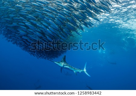 Striped marlin hunting sardines of the Pacific coast of Baja California Sur, Mexico. #1258983442