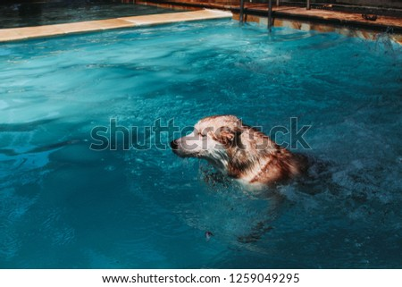 Happy Siberian Husky Swimming Pool on Summer Day #1259049295