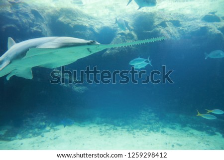NASSAU, BAHAMAS - November 17. 2018:Big aquarium with fishes in Atlantis Paradise Island Resort on Bahamas.Giant ray swimming underwater #1259298412