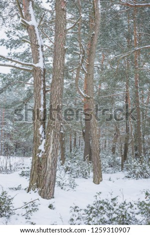 Winter in the Pine Forest. Nature in the vicinity of Pruzhany, Brest region,Belarus.  #1259310907