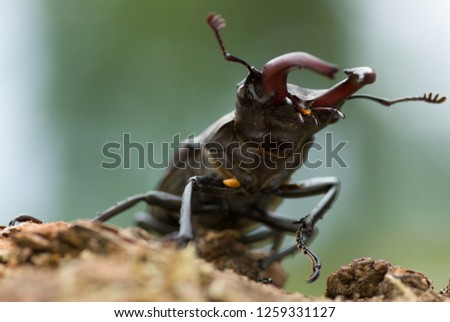 close-up from worm`s eye view of a monstrous appearing adult male stag beetle crawling on an oak branch with backlight conditions and out-of-focus background in white and green colours