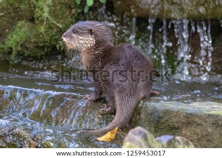 Young otter crossing a small waterfall #1259453017