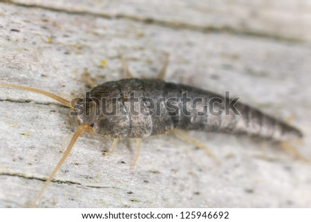 Silverfish sitting on wood, extreme close up with high magnification, focus on eyes