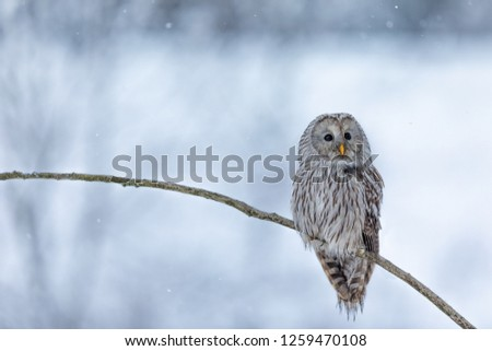 owl in snow, ural owl in snow, attractive winter scene with beautiful owl, unique owl portrait