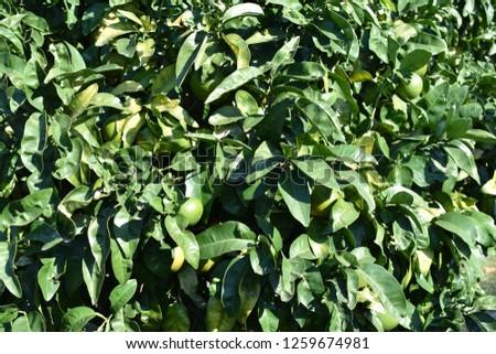 a tree of lemons #1259674981