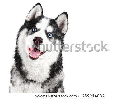 Portrait of a blue eyed beautiful smiling Siberian Husky dog with tongue sticking out isolated on white background with copy space #1259914882