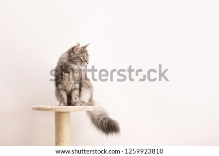 Adorable Maine Coon on cat tree near light wall at home. Space for text #1259923810