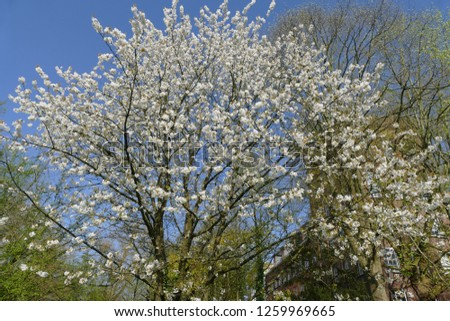 White Cherry blossoms in Spring. #1259969665