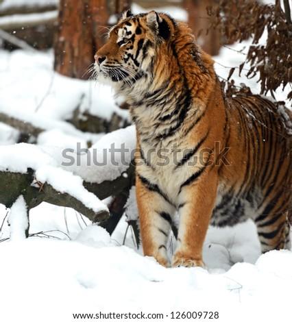 Portrait of a Siberian Tiger #126009728