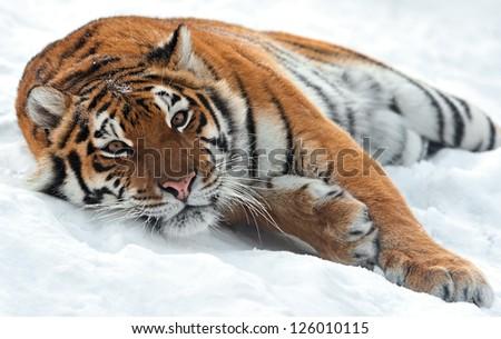 Portrait of a Siberian Tiger #126010115