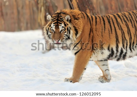 Beautiful wild siberian tiger on snow #126012095