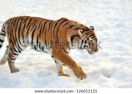 Beautiful wild siberian tiger on snow #126012125