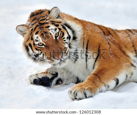 Beautiful wild siberian tiger on snow #126012308
