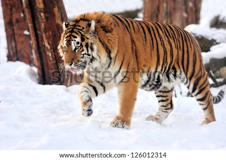 Beautiful wild siberian tiger on snow #126012314