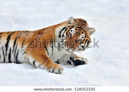 Beautiful wild siberian tiger on snow #126012320