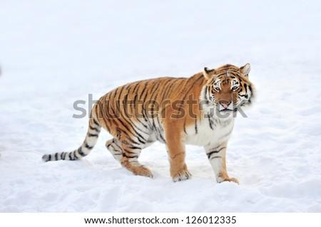 Beautiful wild siberian tiger on snow #126012335
