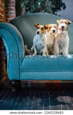 Vertical of three funny muzzles of jack russel terrier with surprised emotions looking at camera while sitting on turquoise sofa together at home loft interior. #1260128683