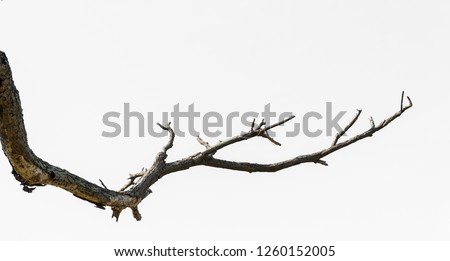 Dead tree isolated on white background, Dead branches of a tree.Dry tree branch.Part of single old and dead tree on white background. #1260152005