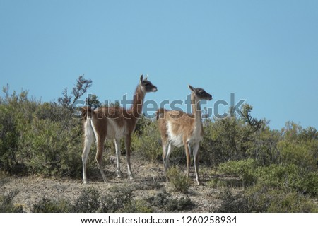 images of llamas in the Andean mountain range                              #1260258934