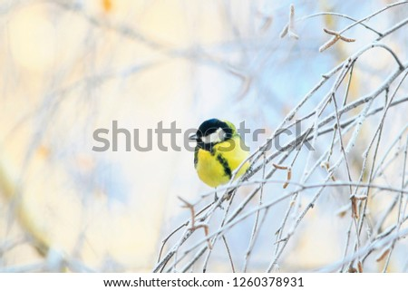 animal cute little chickadee bird sitting on the branches of birch trees covered with frost on a winter morning in the Park #1260378931