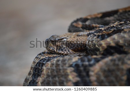 Canebrake Rattlesnake close up #1260409885