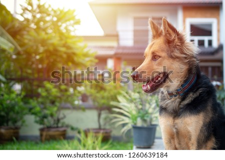 close up picture of guard dog sitting in front of house and garden background, Thai dog, Watchdog concept,   #1260639184