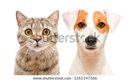 Portrait of cute cat Scottish Straight and young dog Jack Russell Terrier #1261147366