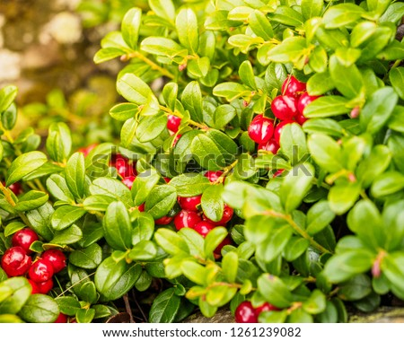Cowberry ( Vaccinium vitis-idaea, Lingonberry, Partridgeberry). Fresh wild Organic lingonberry in forest. non GMO. Vegetation of North America, Scandinavia and Russia. #1261239082
