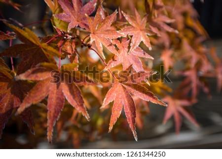 Japanese maple  bonsai leaves in autumn season at Omiya bonsai village  Saitama, Japan #1261344250
