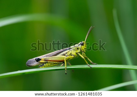 Large marsh grasshopper (Stethophyma grossum), a threatened insect species typical for wet meadow and marsh  #1261481035