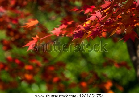 Red leaves of Japanese or, palmate maple tree (Ace palmatum) on green background #1261651756