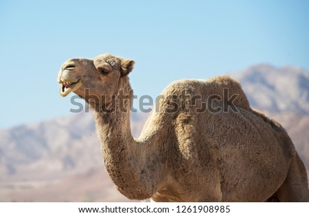 Portrait ofcamel looking straight into my camera. Camel in Jordan desert, funny close up. Humorous photo of camel. Wadi Rum, Jordan. Animal in desert