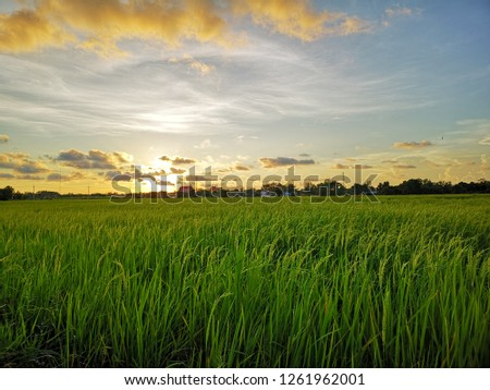 Sunset in Rice paddy #1261962001