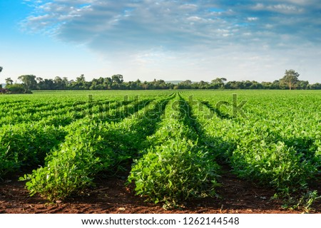 Peanut plantation fields with tree bush and a cloudy blue sky in the background #1262144548