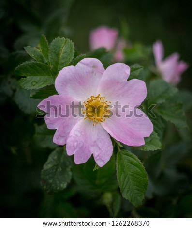 Rosa canina with also known as dog rose has large pink or five petalled flowers. #1262268370