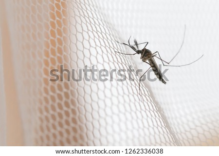 Mosquito on white mosquito wire mesh,net.Mosquito disease is carrier of Malaria, Zica Virus,Fever. #1262336038